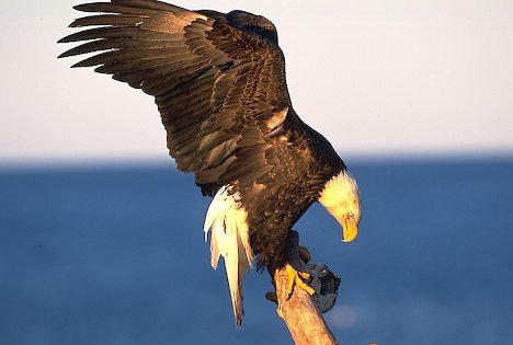 Bald Eagle landing on branch