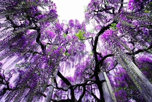 ashikaga-flower-park-japan-wisteria